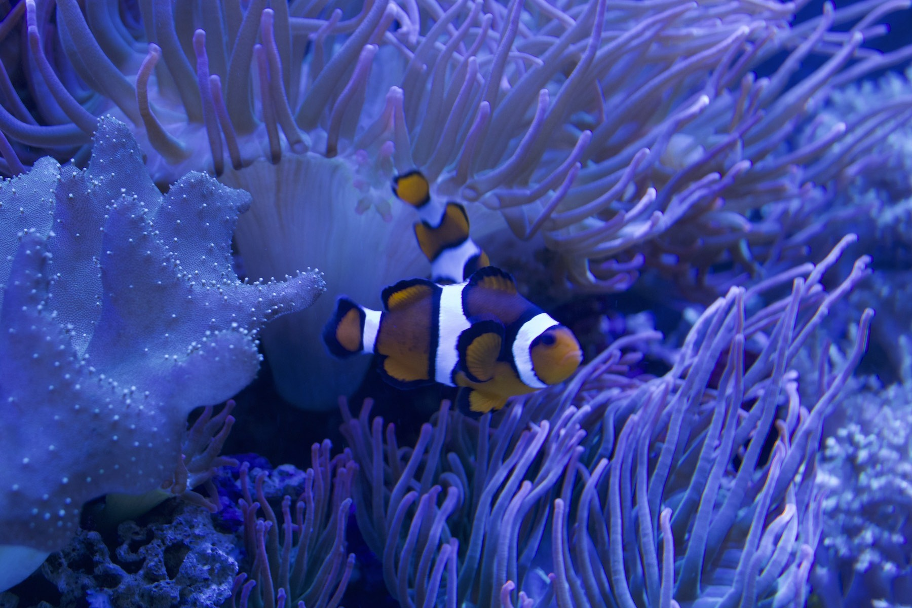 small fish tank with coral and clown fish